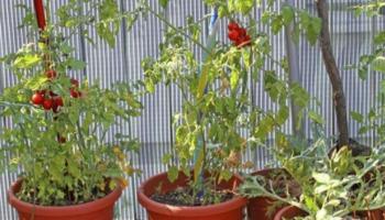 come innaffiare le piante in estate pomodori