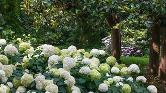fiori in mostra giugno 2017 fioritura ortensie nel parco storico il Torrione, Pinerolo