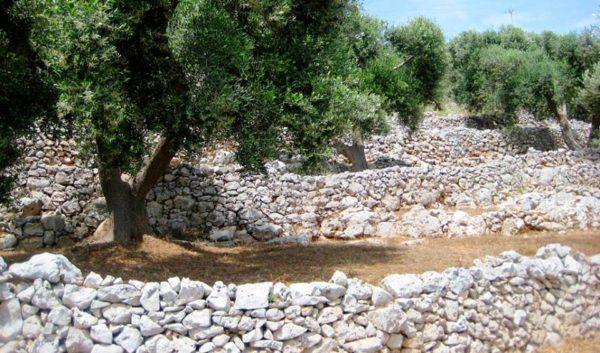 muretti a secco patrimonio unesco: muretti a secco in Puglia per oliveto